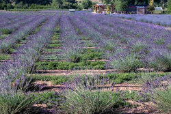 Photo of Purple Adobe Lavender Farm, Abiquiu, NM 87510 (MLS # 201803535)